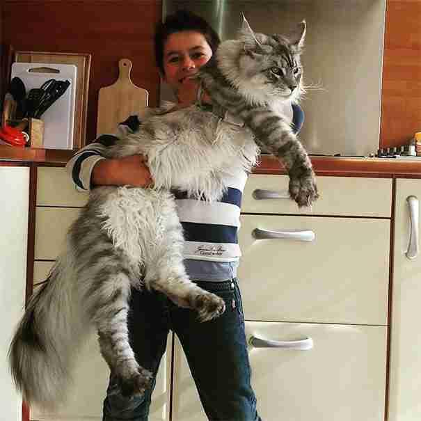 20 τεράστιες γάτες Μέιν Κούν που θα κάνουν τη γάτα σας να μοιάζει μικροσκοπική