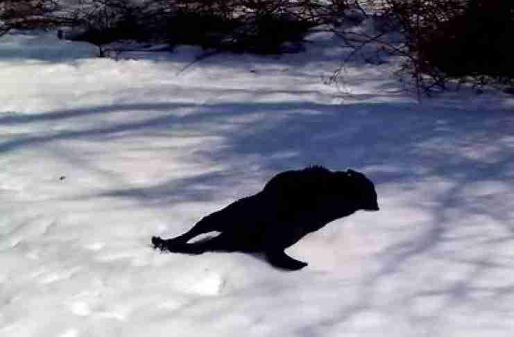 Ένας μαύρος σκύλος βλέπει χιόνι για πρώτη φορά και το διασκεδάζει με τον πιο απίθανο τρόπο!