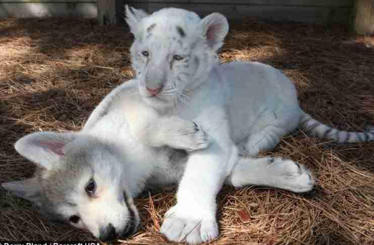 Οι λύκοι και οι τίγρεις είναι θανάσιμοι εχθροί! Απλά κάποιος ξέχασε να το πει σε αυτούς τους δυο..