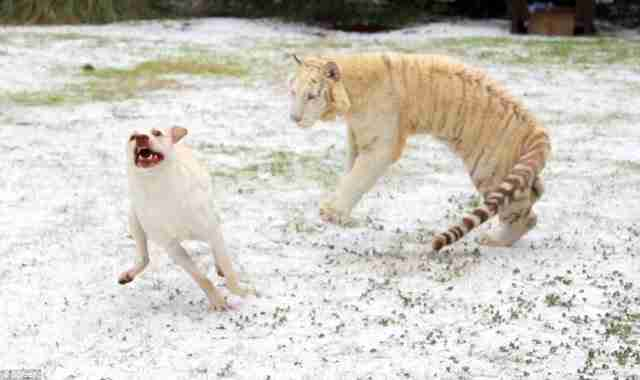 Μια τίγρη επιτίθεται σε ένα Λαμπραντόρ; Προσέξτε καλύτερα!