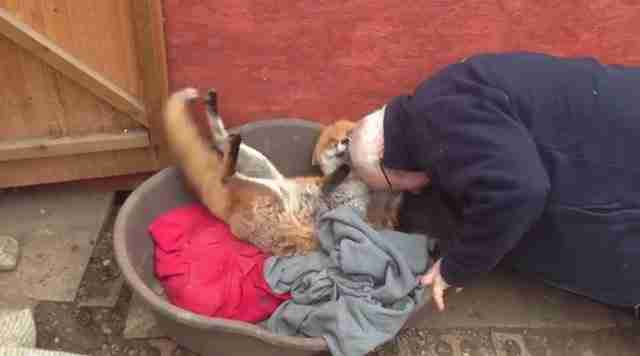 Διέσωσε αυτή την αλεπού πριν από 7 χρόνια. Προσέξτε τι κάνει το ζώο όταν τον βλέπει ξανά..