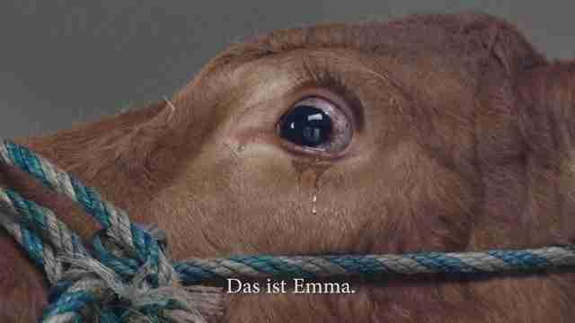 Οδηγούσαν αυτή την αγελάδα στο σφαγείο. Αλλά προσέξτε τον άντρα με το πορτοκαλί μπλουζάκι..