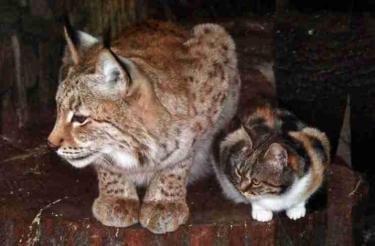 Μια αδέσποτη γάτα τρύπωσε σε έναν ζωολογικό κήπο. Προσέξτε τι έκανε μόλις βρήκε έναν Λύγκα