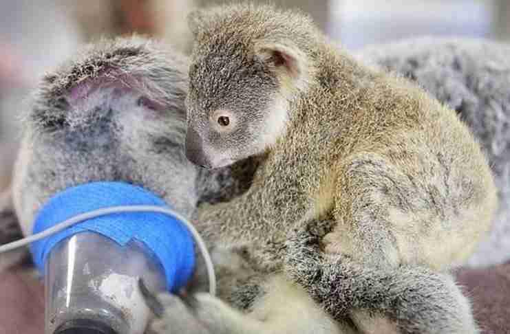 Αυτό το μωρό κοάλα αρνήθηκε να αφήσει τη μαμά του κατά τη διάρκεια χειρουργικής επέμβασης