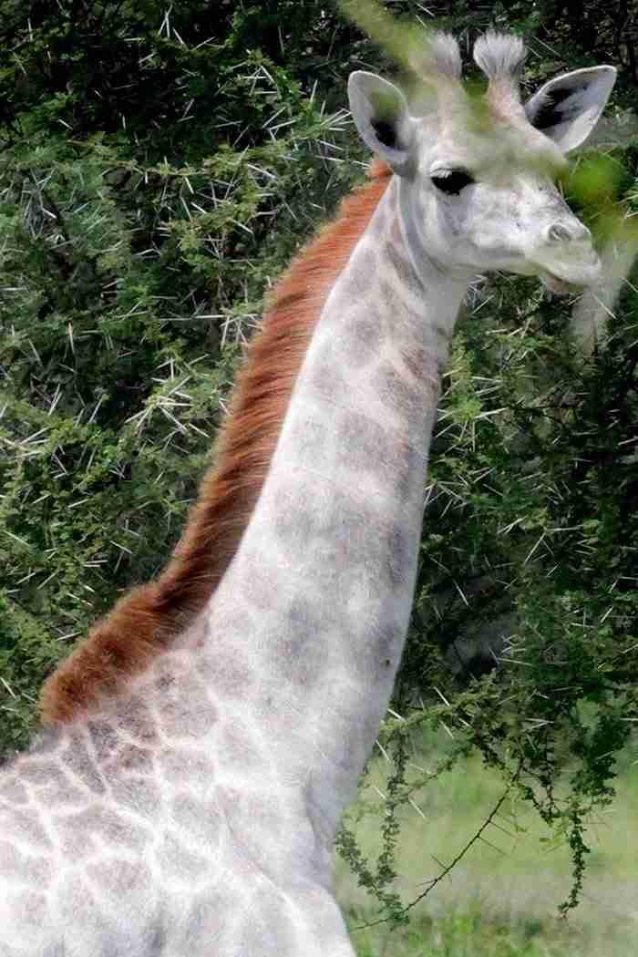Ερευνητής άγριας ζωής στην Αφρική ανακάλυψε ένα από τα σπανιότερα είδη ζώων στον κόσμο.