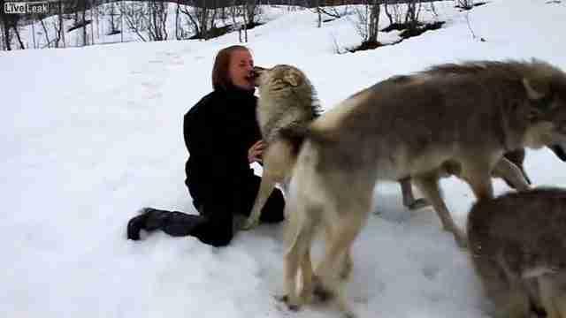 Ανέβηκε στη πλαγιά για να δει τους λύκους. Η αντίδραση των λύκων; Απίστευτη!