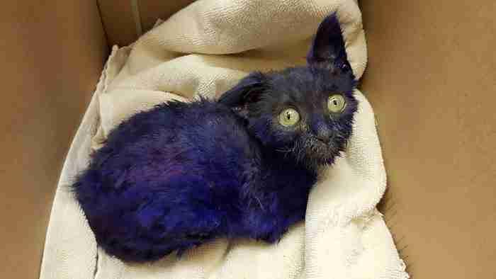 Έβαψαν αυτό το γατάκι μοβ, το ονόμασαν Στρούμφ και το χρησιμοποιούσαν ως παιχνίδι.