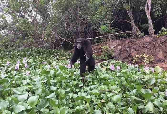 Αυτός είναι ο πιο μοναχικός χιμπατζής στον κόσμο και το μόνο που θέλει είναι έναν φίλο.