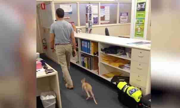 Το ορφανό καγκουρό που νομίζει πως η μαμά του είναι ο αστυνομικός που το φροντίζει.