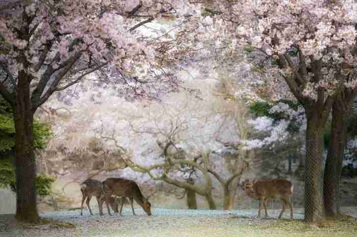 12 μαγικές φωτογραφίες με ανθισμένες κερασιές!