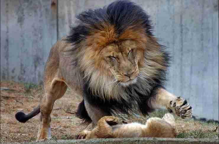 Το αρσενικό λιοντάρι ήθελε να τιμωρήσει το μικρό του. Αλλά τότε εμφανίστηκε η μαμά..