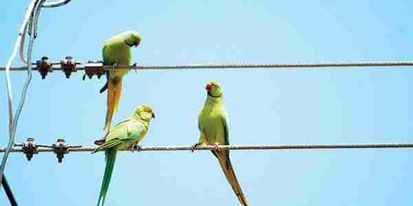 Η Αθήνα έχει γεμίσει με.. πράσινα παπαγαλάκια!