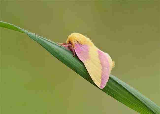 Αυτό το περίεργο έντομο μάλλον είναι το ωραιότερο στον κόσμο! Ετοιμαστείτε να ερωτευτείτε!
