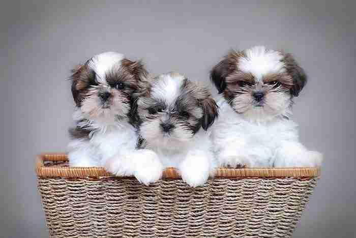 Τα ομορφότερα «μικρά» σκυλιά του κόσμου! Κάποια ζυγίζουν 1 κιλό και χωρούν στη τσάντα σας!