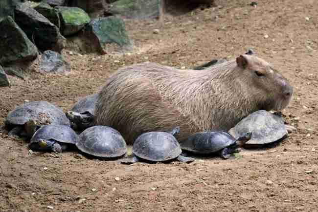 Γιατί όλα τα ζώα αγαπούν τόσο πολύ τα Καπιμπάρα; Δείτε τις απίθανες φωτογραφίες!