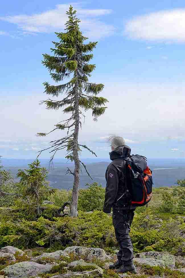 Το αρχαιότερο δέντρο του κόσμου ανακαλύφθηκε στη Σουηδία. Έχει ηλικία 9.500 χρόνια!