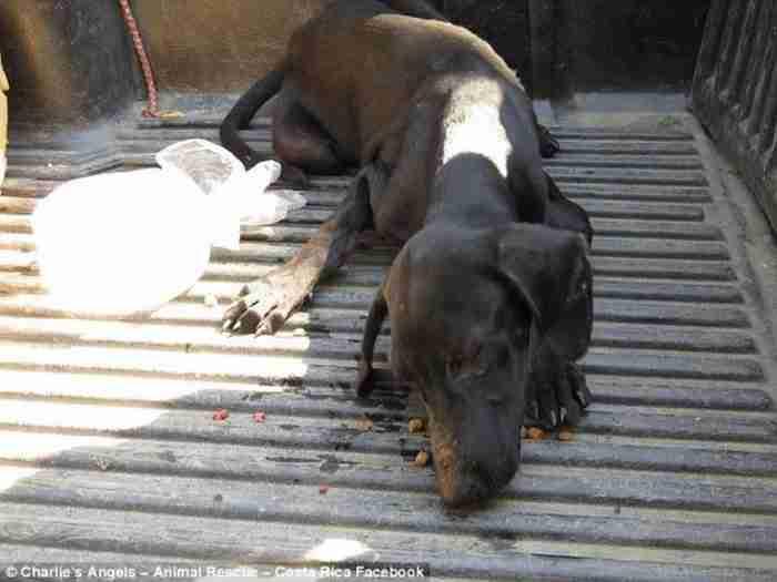 Παρατημένος, πεινασμένος και αφυδατωμένος σκύλος, καταρρέει και κλαίει όταν μια γυναίκα τον σώζει