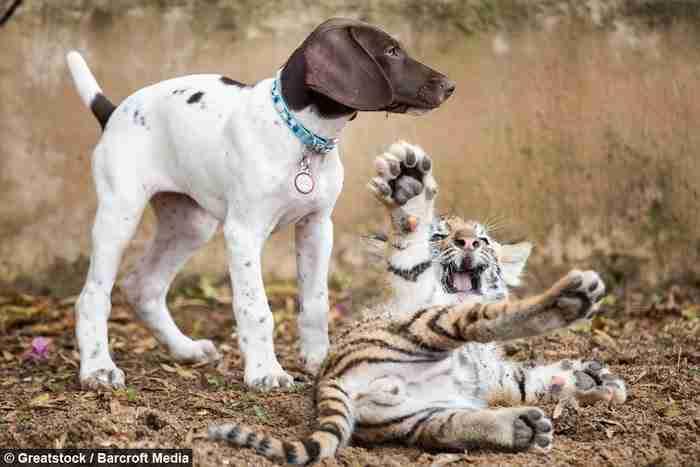 Όταν μια τίγρης απέρριψε το μωρό της, αυτό βρήκε την αγάπη σε ένα κουτάβι