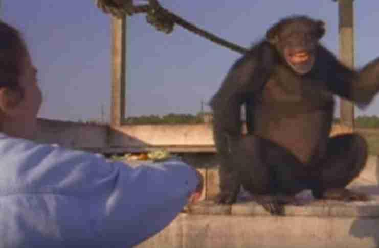 Είχε να δει 18 χρόνια τους χιμπατζήδες που διέσωσε. Απλά σήκωσε το χέρι της..