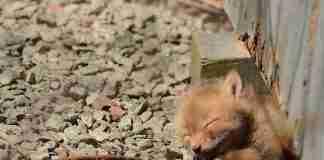 Βρήκαν στην αυλή τους μερικά αξιολάτρευτα μωρά αλεπούδες. Απλά δείτε τις φωτογραφίες..