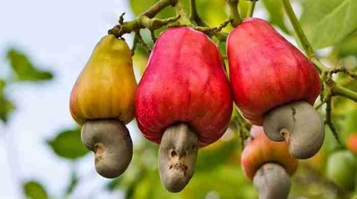 Γνωρίζετε πως φυτρώνουν τα κάσιους;