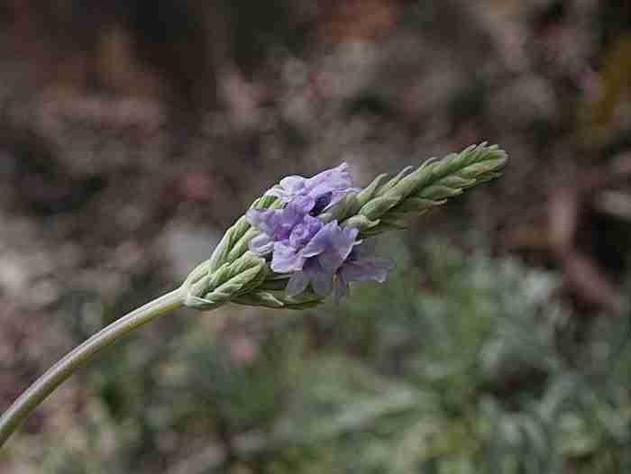 Η αρωματική λεβάντα. Το φυτό που ο Αδάμ και η Εύα πήραν από τον κήπο της Εδέμ