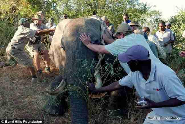 Τους πλησίασε κουτσαίνοντας ένας ελέφαντας που πυροβολήθηκε από λαθροθήρες. Ήλπιζε ότι θα τον βοηθήσουν..