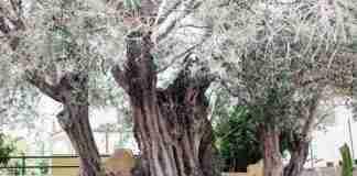 Η «Ελιά της Όρσας»: Το δέντρο 2500 ετών στη Σαλαμίνα που έζησε τη μεγάλη Ναυμαχία του 480 π.χ.