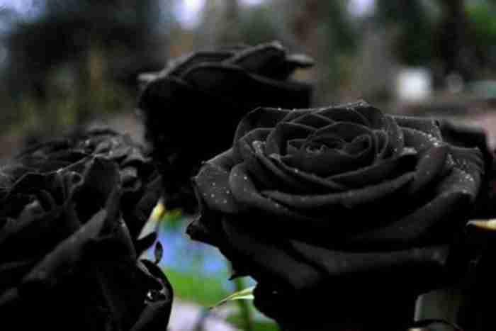 Το παραμυθένιο χωριό της Τουρκίας όπου φυτρώνουν τα σπάνια μαύρα τριαντάφυλλα
