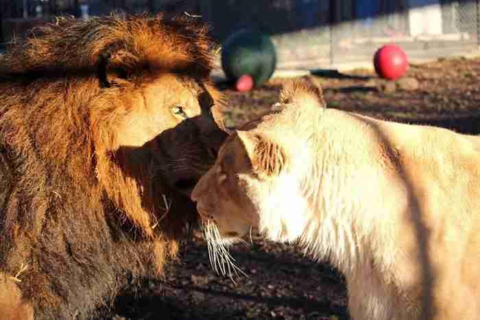 Αυτό το λιοντάρι σώθηκε όταν συνάντησε την αληθινή αγάπη!