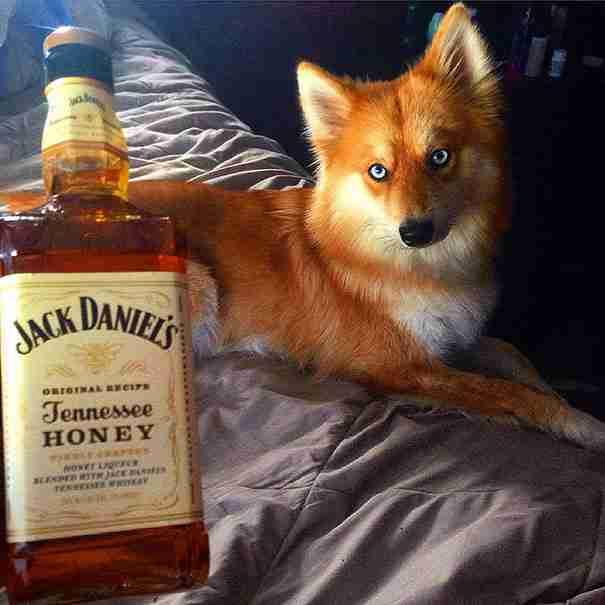 Νομίζετε ότι είναι αλεπού; Σκεφτείτε το πάλι.. Γνωρίστε έναν από τους πιο όμορφους σκύλους στον κόσμο!