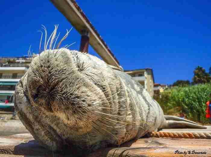 Αργυρώ, η φώκια της Σάμου: Κάνει βουτιές, ξαπλώνει σε ξαπλώστρες και κοιμάται στα χαλάκια στις πόρτες