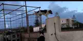 Σκύλος κομάντο στην Κρήτη δεν αντέχει στιγμή μακριά από την αγαπημένη του!
