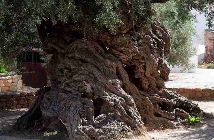 Η αρχαία ελιά στις Βούβες των Χανίων που εντυπωσίασε τη NASA!