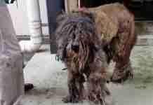 Αυτό το σκυλί είχε τόσο τρίχωμα που κανείς δεν θα μπορούσε να πει τι ράτσα είναι... μέχρι που κάποιοι προσφέρθηκαν να βοηθήσουν!