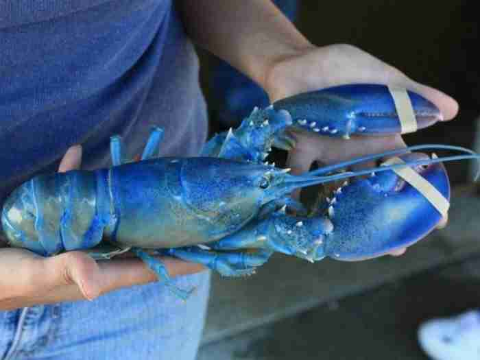 Ψαράς έπιασε στα δίχτυα του τον πιο σπάνιο μπλε αστακό. Υπάρχει ένας στα δυο εκατομμύρια!