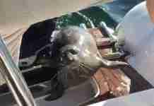 Φώκια πηδά σε βάρκα για να γλιτώσει από φάλαινες δολοφόνους