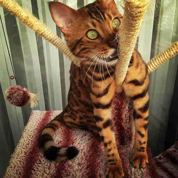 Γνωρίστε τον Θωρ, τη γάτα της Βεγγάλης με το πιο εντυπωσιακό τρίχωμα στον κόσμο!