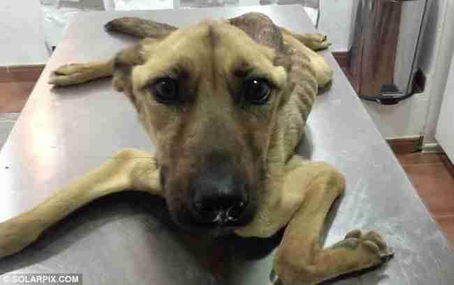 Ένα πεινασμένο σκυλί κατέρρευσε μόλις έφτασε στο καταφύγιο. Αυτό που ακολουθεί είναι μια απίστευτη διάσωση