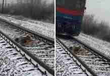 Σκύλος έμεινε δυο μέρες σε μια παγωμένη σιδηροδρομική γραμμή προσπαθώντας να σώσει την τραυματισμένη φίλη του