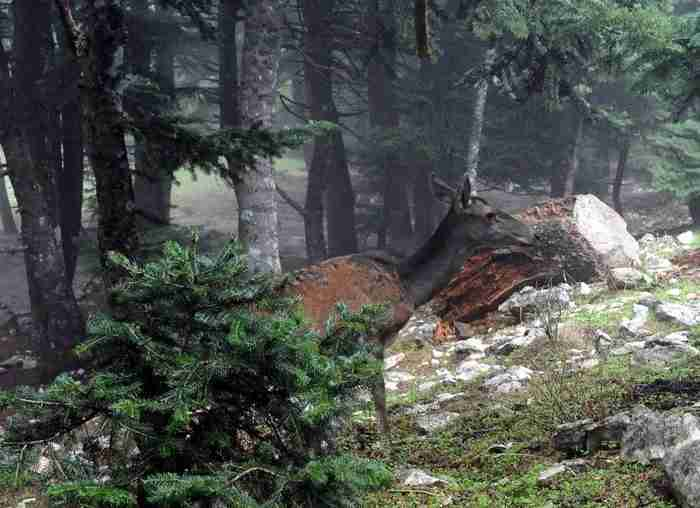 Το υπέροχο κόκκινο ελάφι της Πάρνηθας είναι το μεγαλύτερο φυτοφάγο ζώο της Ελλάδας