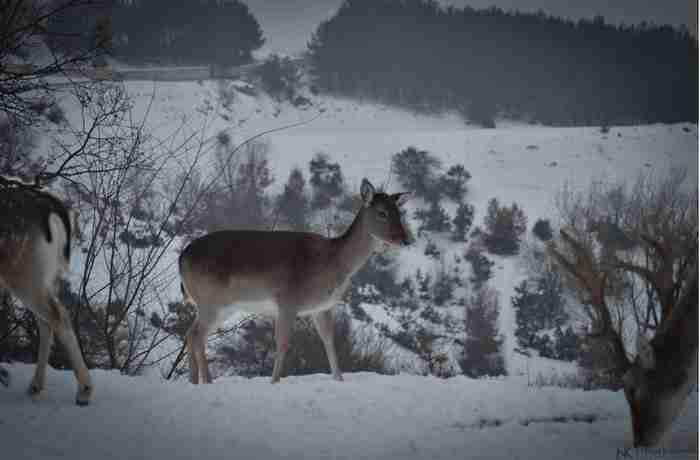 Πανέμορφα ζαρκάδια κάνουν τη βόλτα τους σε χιονισμένο χωριό της Κοζάνης. Οι φωτογραφίες είναι υπέροχες!