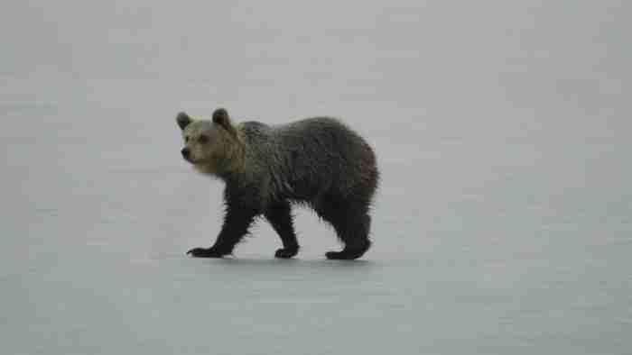 Νεαρό αρκουδάκι έπαιζε για ώρες επάνω στην παγωμένη λίμνη της Καστοριάς.