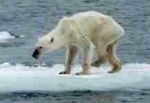 Η τραγική εικόνα μίας πολικής αρκούδας που μαρτυρά το μέλλον