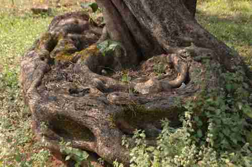 Στην Κρήτη τα αρχαιότερα ελαιοδένδρα στον κόσμο. Ελιές ηλικίας χιλιάδων ετών που ακόμα βγάζουν καρπούς