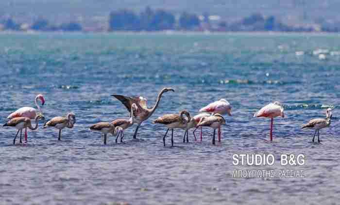 Το Ναύπλιο γέμισε με πανέμορφα φλαμίνγκο. Οι φωτογραφίες είναι υπέροχες