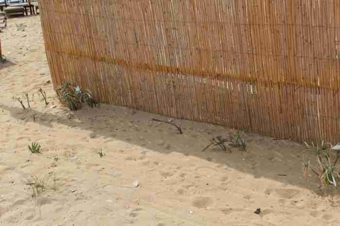 Κρινάκια της Θάλασσας: Τα σπάνια στολίδια της φύσης που πρωτοανθίζουν τον Δεκαπενταύγουστο