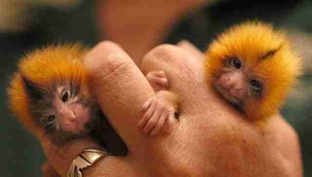 finger_monkeys