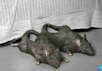 Mice Shoes