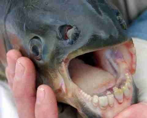 Το ψάρι με τα ανθρώπινα δόντια